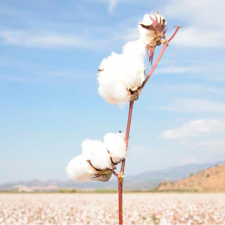 Champs de coton éthique